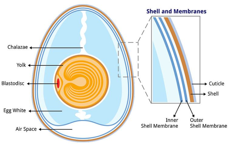 800px-Anatomy_of_an_egg_labeled